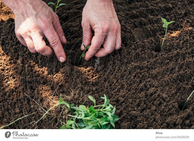 Zwei Hände bei der Gartenarbeit, sie pflanzen kleine Setzlinge in ein Beet aus Erde gärtnern arbeiten Beschäftigung Frühling Pflanze grün Außenaufnahme Farbfoto