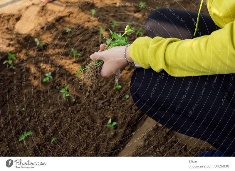 Eine Frau bei der Gartenarbeit, sie pflanzt kleine Setzlinge in ein Beet aus Erde gärtnern pflanzen Hände arbeiten Beschäftigung Frühling Pflanze grün