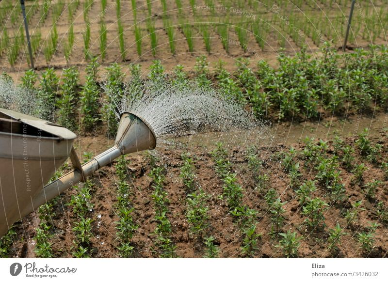 Eine Gießkanne mit der ein Kräuterbeet im Garten gegossen wird gießen Gartenarbeit Wasser gärtnern pflanzen Hände arbeiten Beschäftigung Frühling Pflanze grün