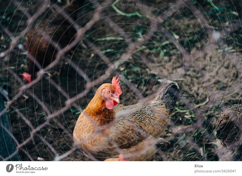 Hahn hinter einem Zaun; Tierhaltung, Freilandhaltung Huhn Bauernhof Legehenne Bio eingesperrt Haushuhn Vogel Außenaufnahme Nutztier Landwirtschaft Farbfoto