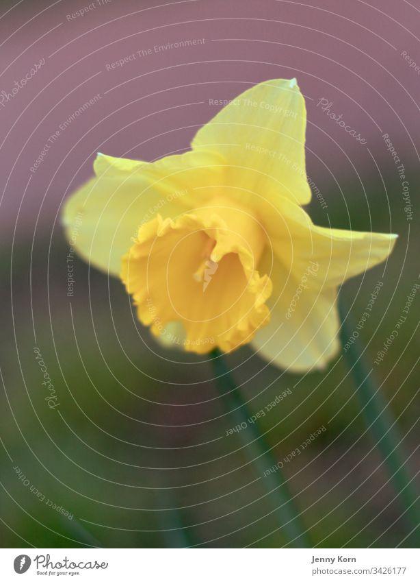 Frühlingshafte Gelb gelbe blume grün Blume Pflanze Blüte Blühend Farbfoto Außenaufnahme Nahaufnahme Natur Frühlingsgefühle schön natürlich