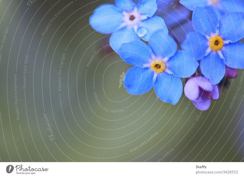 vergiss-die Alten-nicht | corona thoughts Vergißmeinnicht blau Frühlingsblumen Blüte Blume dunkelblau Blühend Natur Umwelt Nahaufnahme natürlich Blumen