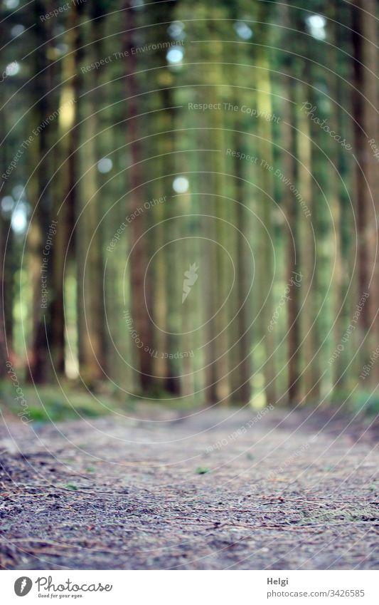 menschenleerer Waldweg bei schönem Wetter  im Frühling | Corona-thoughts Kiefer Kiefernwald Teutoburger Wald Baum Natur Außenaufnahme Menschenleer Farbfoto