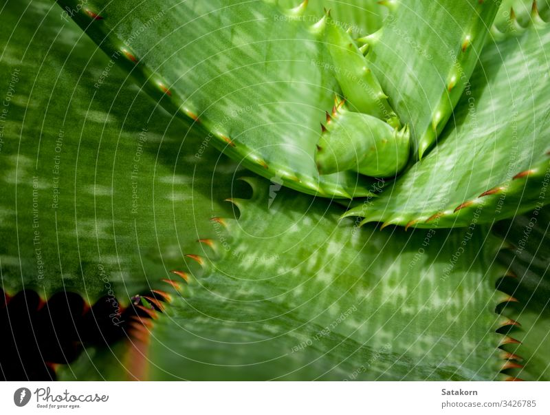 Sukkulente Pflanze in Nahaufnahme, frische Blätter Detail der Aloe-Pflanze Stachel Blatt grün rot schön Natur Stacheln natürlich wachsen Dekoration & Verzierung