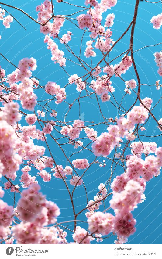 Hanami, Kirschblüte, zarte rosa Blüten vor blauem Hintergrund blauer Himmel zerbrechlichkeit Frühling Pflanze Natur Farbfoto Außenaufnahme Blume Blühend schön