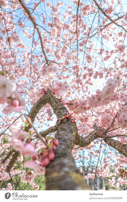 Hanami, Kirschblüte, zarte rosa Blüten am Ast blauer Himmel zerbrechlichkeit Frühling Pflanze Natur Farbfoto Außenaufnahme Blume Blühend schön Nahaufnahme Duft