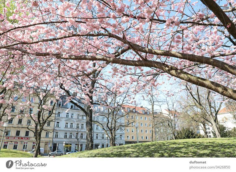 Hanami, Kirschblüte, zarte rosa Blüten vor Häuserzeile blauer Himmel zerbrechlichkeit Frühling Pflanze Natur Farbfoto Außenaufnahme Blume Blühend schön Duft