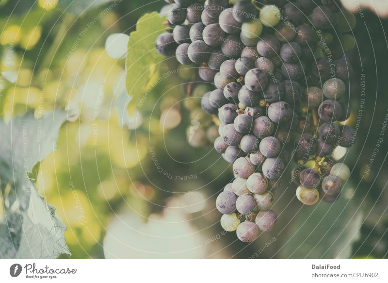 Weinberge bei Sonnenuntergang. Reife Trauben im Herbst. Ackerbau Hintergrund blau Haufen Nahaufnahme Konzept Land Bauernhof Feld frisch Frucht Weinreben grün