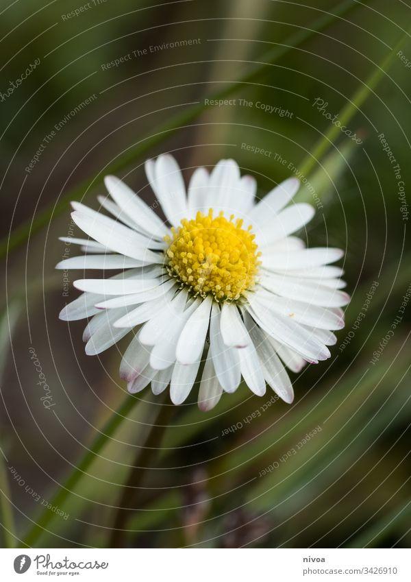 Daisy Gänseblümchen Blume Pflanze Sommer weiß Korbblütengewächs Natur Garten Beautyfotografie Hintergrund Dekoration & Verzierung geblümt Blütenblatt schön