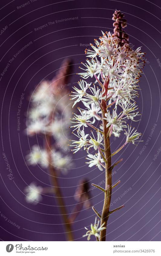 Schaumblüte vor violettem Hintergrund weiß lila Blüten Blume Pflanze blühend Frühling Schwache Tiefenschärfe Hintergrund neutral Detailaufnahme zwei