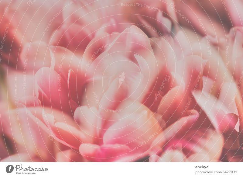 Tulpenblätter in Rosa in weichem Licht Blume rosa Blütenblätter weiches Licht Frühling Farbfoto schön Tulpenstrauß Innenaufnahme rosa Farbe Blumenstrauß
