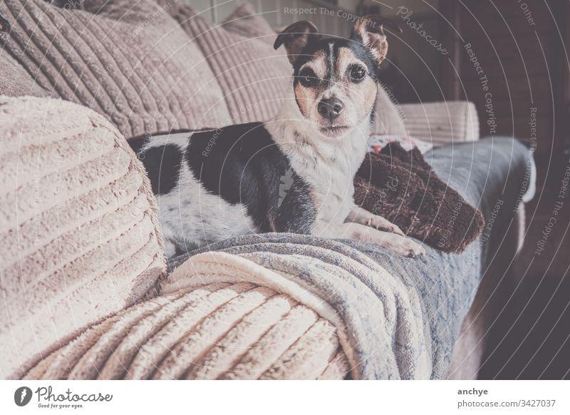 Jackrussel-Hund auf der Couch liegend jackrussel Liege Erholung Haustier niedlich Innenaufnahme Farbfoto Tierporträt Tierliebe bequem Tiergesicht Plaid