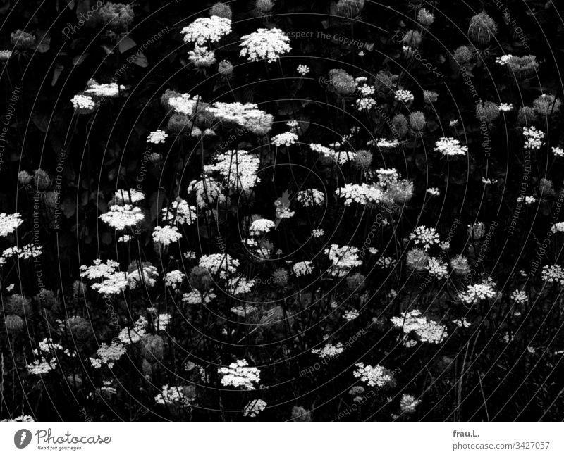 Die Blüten der wilden Möhre wünschten sich innigst, ein duftiges Sommerkleid zu sein. Blütenpflanze Pflanze Wildblume Feld Feldrand weiß zart