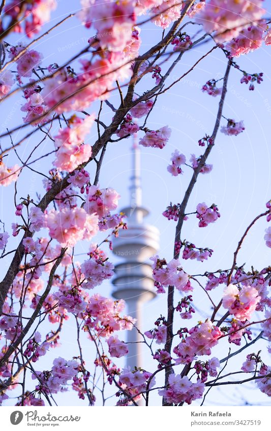 Kirschblüten und Olympiaturm Fernsehturm München Olympiapark Außenaufnahme Farbfoto Himmel Architektur Wahrzeichen Sehenswürdigkeit Tag Bauwerk Menschenleer