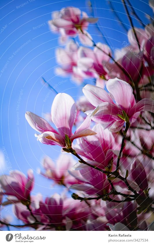 Magnolienblüten Blüte Farbfoto Außenaufnahme Natur Frühling Pflanze rosa Tag Magnoliengewächse Blume Magnolienbaum Blühend Garten schön Umwelt Frühlingsgefühle