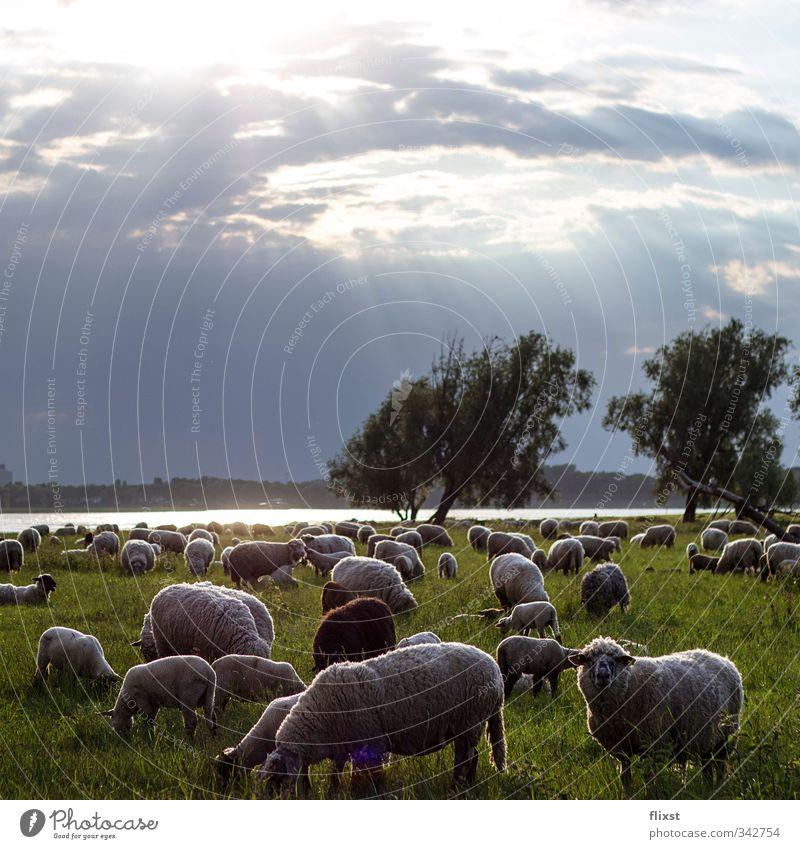 Landleben in Düsseldorf Landschaft Wolken Sonnenlicht Frühling Wiese Nutztier Schaf Herde Fressen Farbfoto Außenaufnahme Menschenleer Textfreiraum oben
