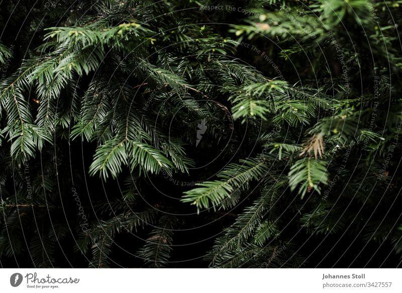 Zweige eines Nadelbaums in Nahaufnahme Douglasie Kiefer Tanne Fichte Weihnachten Weihnachtsbaum Baumschmuck Lametta Wald Grün Nadeln Forst Förster Baumfäller