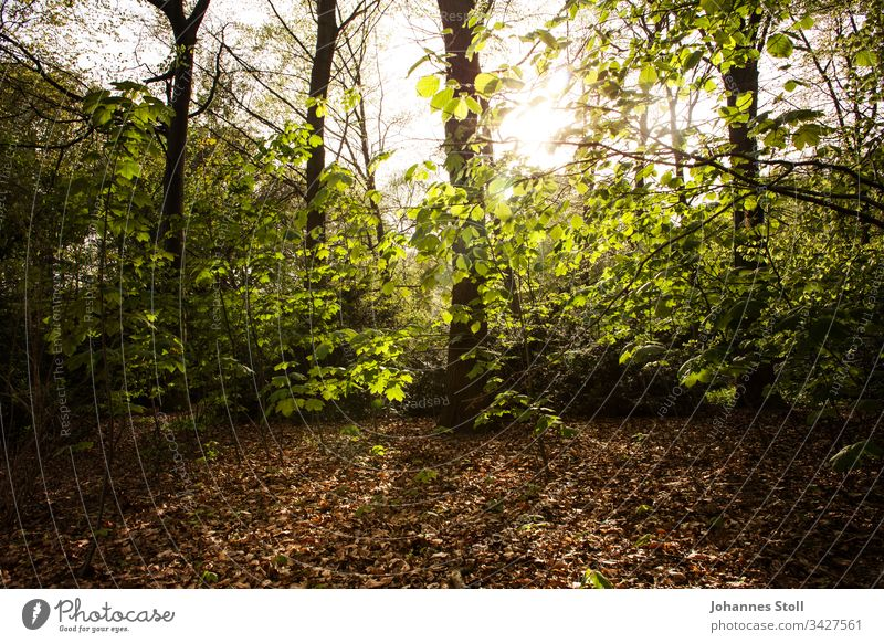 Herbstlicher Wald im Gegenlicht Laub Zweige Licht Sonne Sonnenaufgang Sonnenuntergang Dämmerung Angst Thriller Waldsterben Krimi Fundort Tatort Gefahr Spazieren