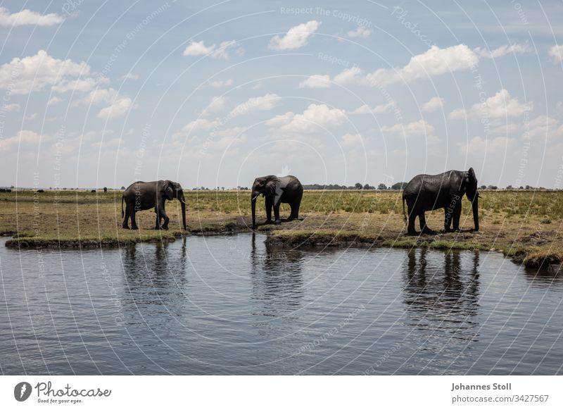 Drei trinkende Elefanten am Flussufer stehen Landschaft Afrika Sambia Botwana Namibia Safari Tourismus Dickhäuter Wildnis Wasser Steppe Savanne Himmel Wolken