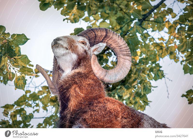 Mufflon unter Blätterdach von unten. Wildschaf gehörnt Gehörnter Tier ausgestopft Widderhorn Jagd jagen Pirsch Umwelt Umweltschutz Natur Naturschutz Tierschutz