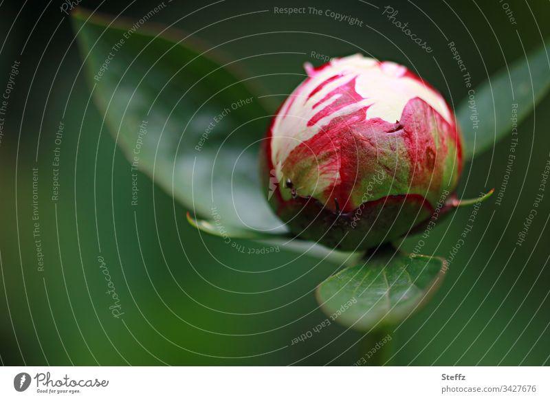 Knospe der Pfingstrose kurz vor der Entfaltung Blüte Blume Natur Nahaufnahme grün Garten Außenaufnahme frisch Tageslicht Textfreiraum Umwelt rot rund Kugel