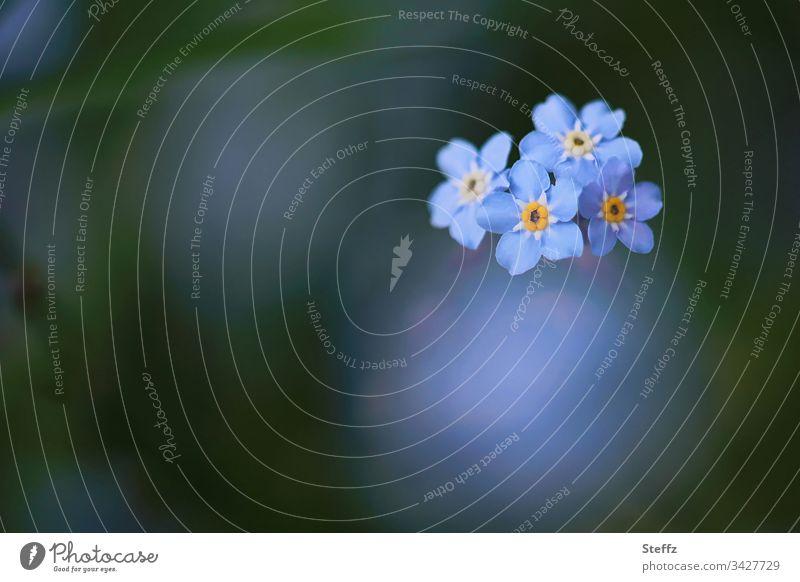 Vergissmeinnicht blühen in diesem Frühling wieder Blume Blüte blau Unschärfe schön Garten Pflanze Vergißmeinnicht Hintergrund neutral Textfreiraum Blühend
