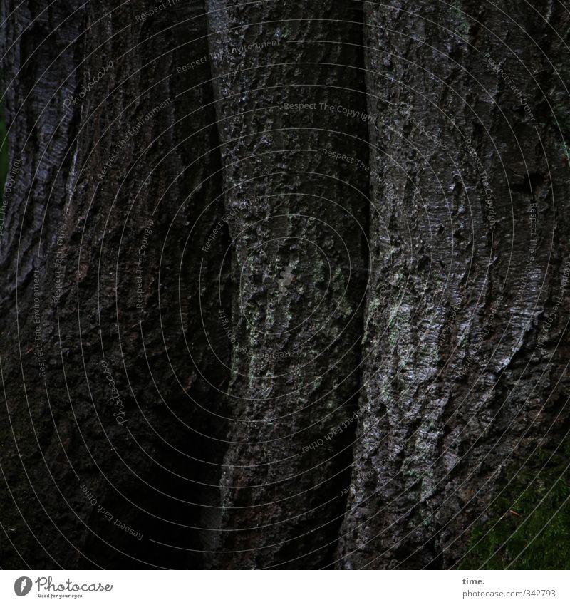 Ältestenrat Umwelt Natur Pflanze Baum Baumstamm Baumrinde Farbstoff Wald Darß dunkel Schutz Geborgenheit Verschwiegenheit Vorsicht Gelassenheit geduldig ruhig