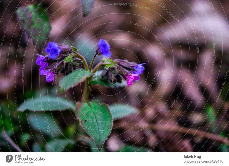Lila Blüten im Frühling Blume Blumenwiese blumen Pflanze Pflanzen Vegetation Flora und Fauna Waldboden Blatt Blätter Natur Landschaft Sommer Herbst Deutschland