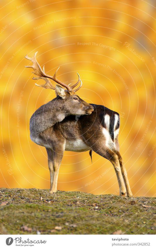 Damhirschbock im Herbst schön Jagd Mann Erwachsene Natur Landschaft Tier Park Wiese Wald stehen groß braun gold Einsamkeit Farbe Hirsche Bock Dama Damwild