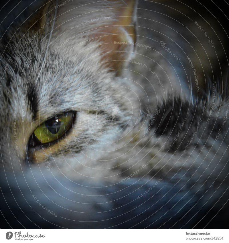 Eye of the Tiger ;-) Tier Haustier Katze Tiergesicht Fell 1 beobachten glänzend Blick grau grün Willensstärke Mut Tierliebe Katzenauge Katzenkopf Katzenohr