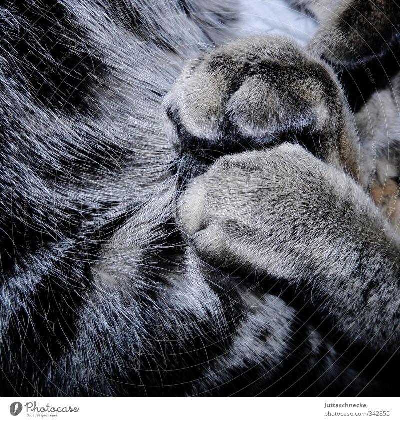 Siesta Katze ruhig Tier grau träumen Zufriedenheit schlafen weich genießen Fell Vertrauen Gelassenheit Haustier Pfote Krallen