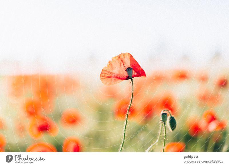 Mohnblumen mohnblumen Mohnblüte Blume Pflanze rot Blüte Sommer Außenaufnahme Farbfoto Natur Feld Mohnfeld Wiese Menschenleer Landschaft Umwelt Klatschmohn