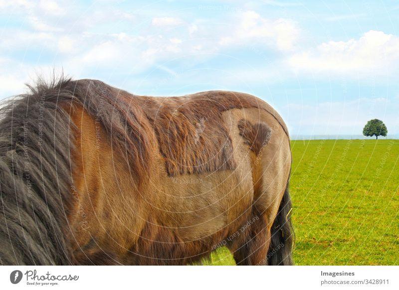 Pferdehintern - New forest pony (Dülmener) auf einer Wiese, mit  einem Herz Fleck auf dem Hinterteil, rasierte Form eines Herzens. Ein Herz für Tiere Konzept, Valentinstag, Freundschaft, Liebe, Tierschutz