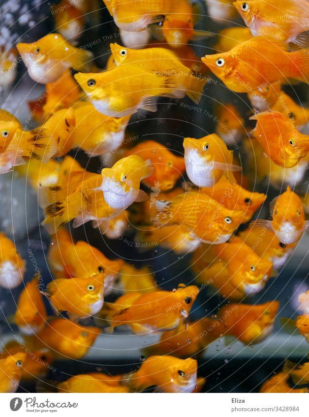 Unterwasseraufnahme eines Schwarms gelber leuchtender Fischer im Wasser Aquarium orange Fischschwarm tummeln durcheinander Tiergruppe Natur Zusammensein mehrere