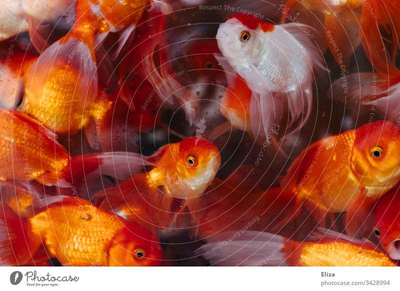 Viele leuchtend rot orangene Goldfische in einem Aquarium mit Wasser Tierhandlung viele Fische Unterwasseraufnahme Farbfoto blau Qualle mehrfarbig Schwarm bunt