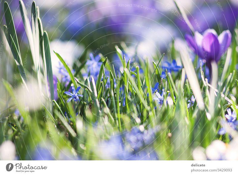 Krokusse Krokusblüte Blumenstrauß Frühling Blüte Pflanze violett Natur Nahaufnahme Garten Blühend Außenaufnahme Farbfoto Makroaufnahme Schwache Tiefenschärfe