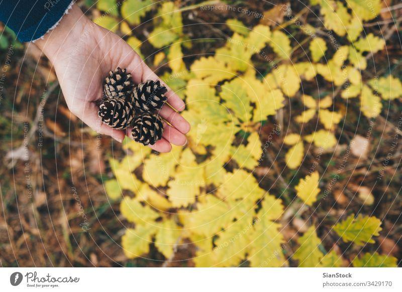 Frau hält Kiefernzapfen im Wald, Ansicht von oben Zapfen Beteiligung Hand Top gelb lassen Blatt Herbst Hände weiß Natur Zeder Hintergrund braun Winter
