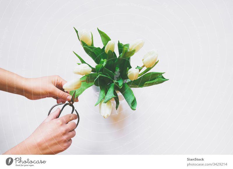 Frauenhände Pflege des Straußes weißer Tulpen vereinzelt Hintergrund Tag Blumenstrauß Vase Schere Frühling Natur grün schön geschnitten Schneiden Mütter Raum