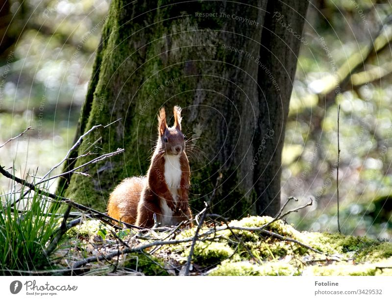 Kleines rotes Eichhörnchen im Wald vor einem dicken Baum auf Moos von Sonnenlicht beschienen Tier Farbfoto 1 Außenaufnahme Wildtier Natur Menschenleer Tag braun