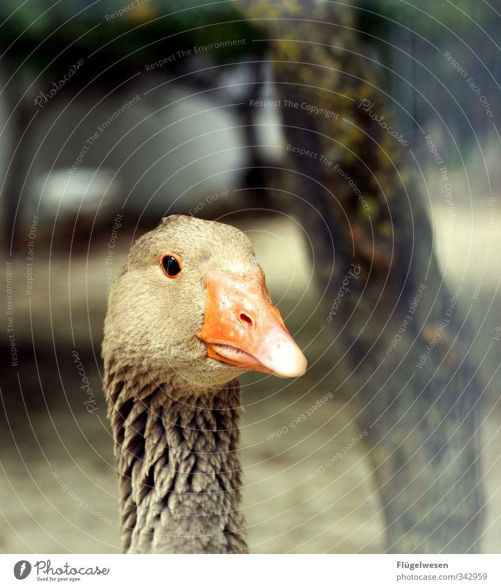 süss und lecker Lebensmittel Fleisch Wurstwaren Ernährung Essen Mittagessen Tier Haustier Nutztier Wildtier Vogel Zoo Streichelzoo fliegen Gans Ente Pute