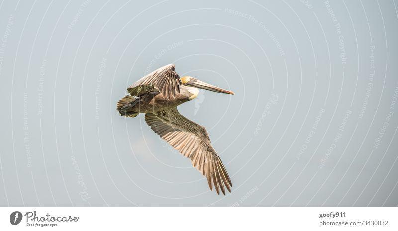 Pelikan Vogel Himmel blau Freiheit Natur Außenaufnahme Tier fliegen Luft Flügel frei Farbfoto Feder natürlich Schnabel Schweben gleiten Wildtier