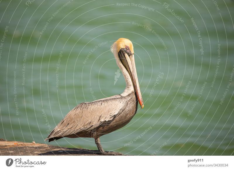 Pelikan auf den Florida Keys Vogel Farbfoto Außenaufnahme Tier Wildtier Schnabel Natur Tierporträt Flügel Tiergesicht Feder Nahaufnahme Wasser Blick