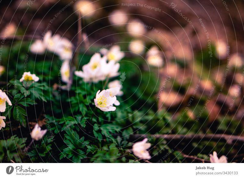 Weiße Blumen im Wald nahe einer Quelle Blumenwiese blumen Pflanze Pflanzen Vegetation Flora und Fauna Waldboden Blatt Blätter Ast Geäst äste Zweige u. Äste