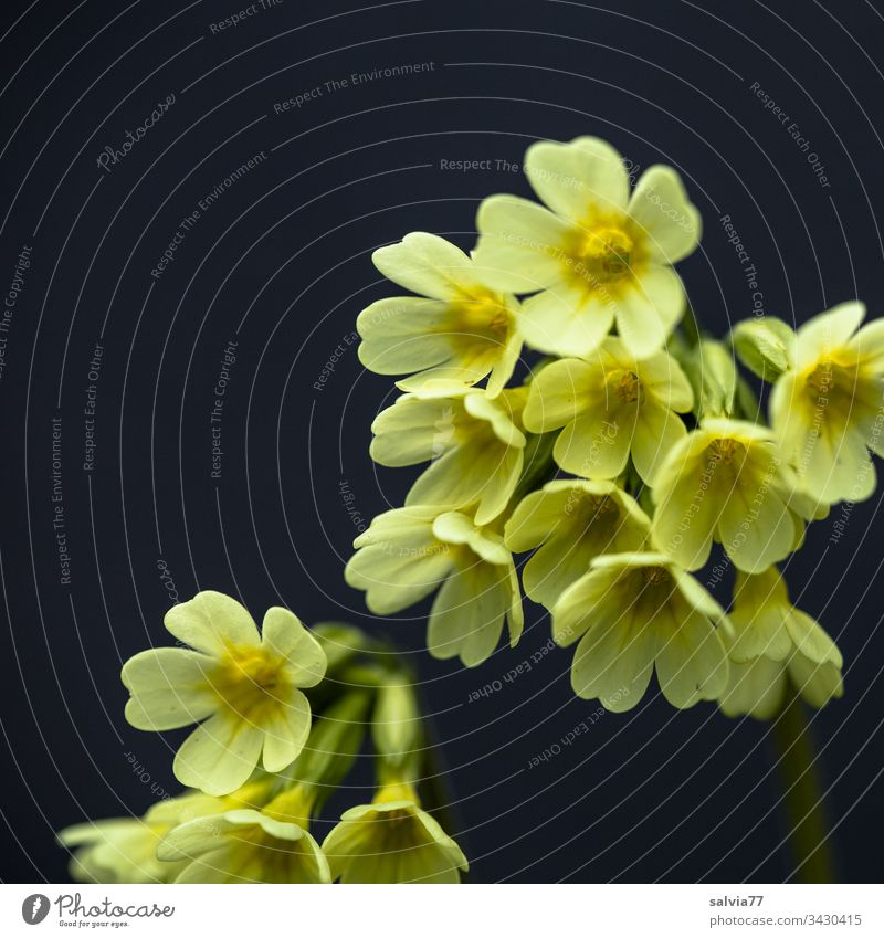 gelbe Schlüsselblume vor schwarzem Huntergrund Natur Pflanze Blume Blüte Makroaufnahme Nahaufnahme Frühling Farbfoto Außenaufnahme Freisteller