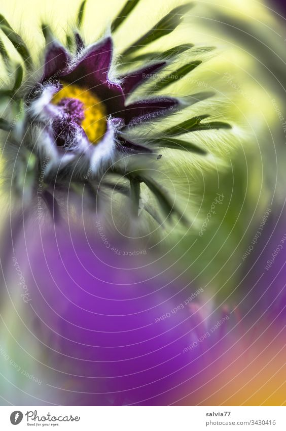 Kuhschelle öffnet ihre Blüte Pulsatilla vulgaris Küchenschelle Heilpflanze Homoeopathiepflanze Blume Frühling violett Garten Pflanze Natur Nahaufnahme