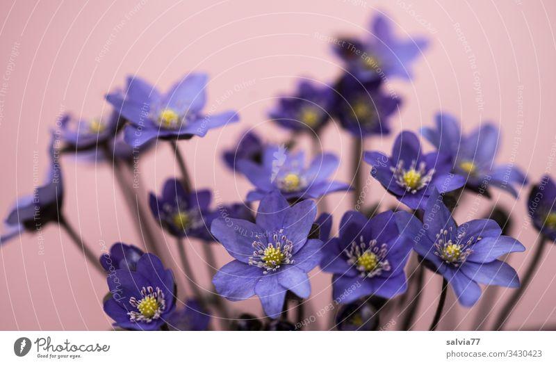 blaue Leberblümchen Blume Natur Blüte Frühling Hintergrund neutral Freisteller Nahaufnahme Menschenleer Textfreiraum oben Blühend Außenaufnahme Duft
