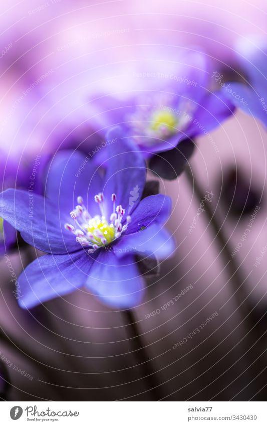 blaues Leberblümchen vor lila Hintergrund Natur Pflanze Blume Blüte Makroaufnahme Blütenblatt Farbfoto Unschärfe Menschenleer Detailaufnahme Frühling violett