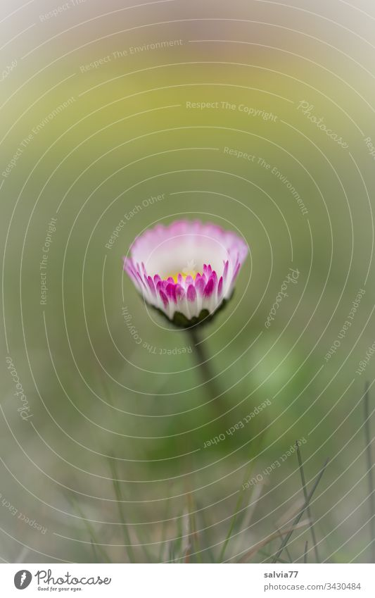 Gänseblümchen natur Makroaufnahme natürlich Frühlingsgefühle Textfreiraum oben Unschärfe Wiese Gras schön Schwache Tiefenschärfe Garten Wachstum grün