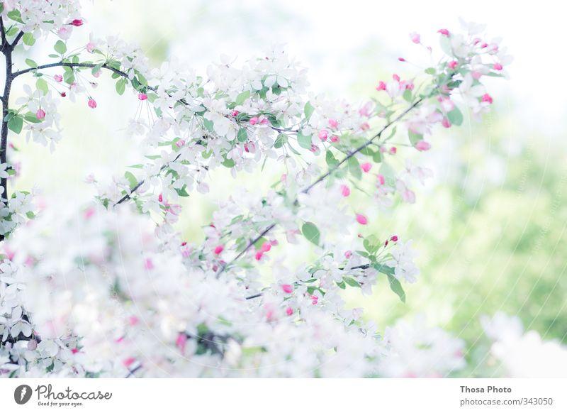 Schneeweiß Natur Frühling Sommer Baum Blüte Grünpflanze grün rosa rot Kirsche Farbfoto Nahaufnahme Detailaufnahme Tag
