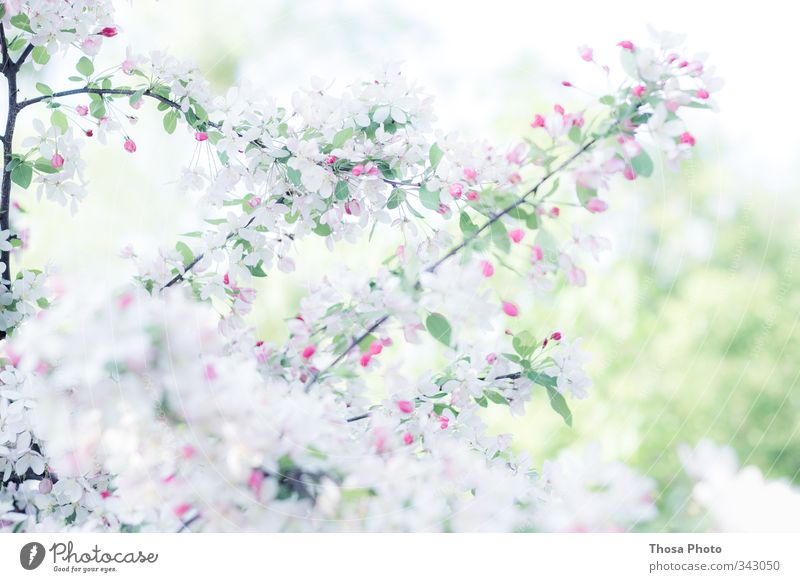 Schneeweiß Natur grün weiß Sommer Baum rot Frühling Blüte rosa Kirsche Grünpflanze